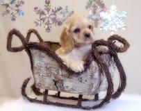 Perrito del perro de aguas de cocker en trineo imagen de archivo libre de regalías