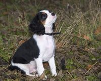 Perrito del perro de aguas de rey Charles Fotos de archivo