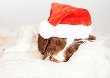 Perrito del perro de aguas de saltador inglés que lleva a Santa Hat While Sleeping imágenes de archivo libres de regalías