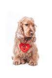 Perrito del perro de aguas del día de tarjetas del día de San Valentín Imagen de archivo