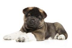 Perrito del perro de Akita del americano en un fondo blanco Fotografía de archivo libre de regalías