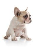 Perrito del perro de Bull que mira a la cara Imágenes de archivo libres de regalías