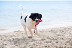 Perrito del perro de Landseer Imagen de archivo libre de regalías