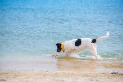 Perrito del perro de Landseer Fotografía de archivo libre de regalías