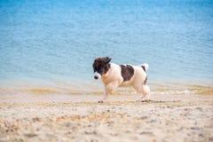 Perrito del perro de Landseer Imágenes de archivo libres de regalías
