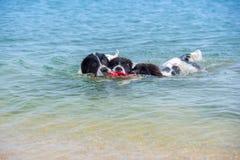 Perrito del perro de Landseer Imagenes de archivo