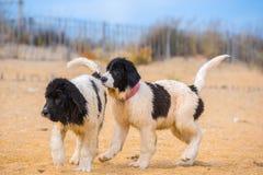 Perrito del perro de Landseer Fotografía de archivo