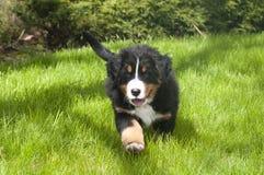 Perrito del perro de montaña de Bernese Fotos de archivo libres de regalías