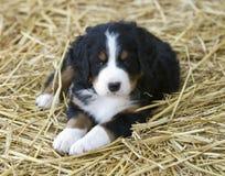Perrito del perro de montaña de Bernese Foto de archivo libre de regalías