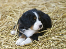 Perrito del perro de montaña de Bernese Imagenes de archivo