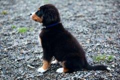Perrito del perro de montaña de Bernese Imagen de archivo