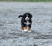 Perrito del perro de montaña de Bernese Fotografía de archivo