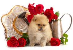 Perrito del perro de Pomerania Imagen de archivo