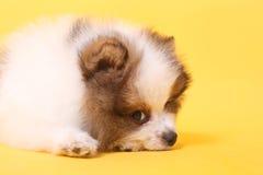 Perrito del perro de Pomerania fotos de archivo