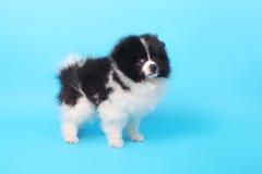 Perrito del perro de Pomerania fotografía de archivo libre de regalías