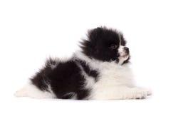 Perrito del perro de Pomerania foto de archivo libre de regalías