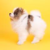 Perrito del perro de Pomerania fotografía de archivo