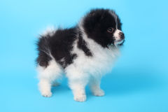 Perrito del perro de Pomerania foto de archivo