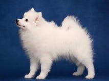 Perrito del perro de Pomerania blanco japonés en fondo azul Foto de archivo libre de regalías