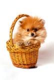 Perrito del perro de Pomerania en la cesta Imagen de archivo libre de regalías