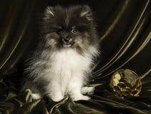 Perrito del perro del perro de Pomerania de Pomeranian con la bola del Año Nuevo en la Navidad o el Año Nuevo Foto de archivo