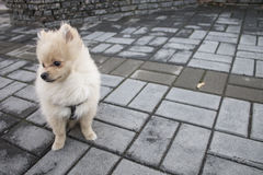 Perrito del perro de Pomerania que se sienta pensativamente Imágenes de archivo libres de regalías