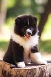 Perrito del perro del collie Foto de archivo libre de regalías