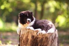 Perrito del perro del collie Fotografía de archivo libre de regalías
