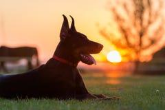 Perrito del perro del Doberman fotos de archivo libres de regalías