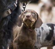 Perrito del perro del leopardo Imágenes de archivo libres de regalías