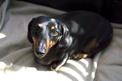 Perrito del perro del weiner del perro basset que miente en una manta beige con el boh abstracto de las sombras Foto de archivo