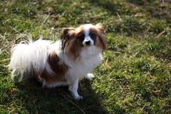 Perrito del perro en la hierba que sonríe en la cámara fotografía de archivo