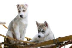 Perrito del perro esquimal siberiano foto de archivo