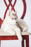 Perrito del perro esquimal siberiano Fotografía de archivo