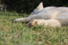 Perrito del perro esquimal siberiano imagenes de archivo