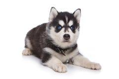 Perrito del perro esquimal siberiano Imagen de archivo libre de regalías