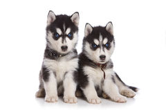 Perrito del perro esquimal siberiano Fotos de archivo libres de regalías