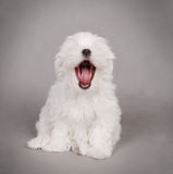 Perrito del perro maltés Fotos de archivo