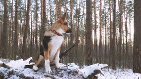 Perrito del perro mezclado de la raza que mira puesta del sol o salida del sol en W soleado almacen de metraje de vídeo