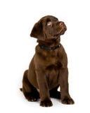 Perrito del perro perdiguero de Labrador Imagen de archivo libre de regalías