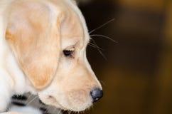 Perrito del perro perdiguero de Labrador imagen de archivo