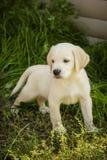 Perrito del perro perdiguero de Labrador Imágenes de archivo libres de regalías