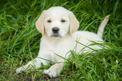 Perrito del perro perdiguero de Labrador Fotos de archivo