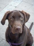 Perrito del perro perdiguero de Labrador del chocolate Foto de archivo libre de regalías