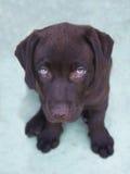 Perrito del perro perdiguero de Labrador del chocolate que mira para arriba Fotografía de archivo libre de regalías