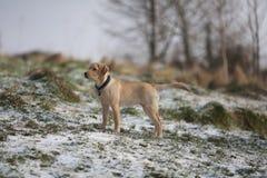 Perrito del perro perdiguero de Labrador del oro en nieve Imagenes de archivo