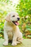 Perrito del perro perdiguero de Labrador en la yarda foto de archivo libre de regalías