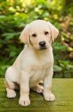 Perrito del perro perdiguero de Labrador en la yarda Imagenes de archivo