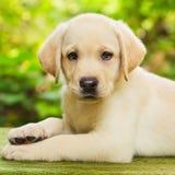 Perrito del perro perdiguero de Labrador en la yarda Fotos de archivo libres de regalías