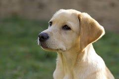 Perrito del perro perdiguero de Labrador en la yarda Fotos de archivo